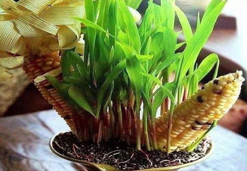 新乡青储机厂家告诉大家玉米原来还有这些用处!